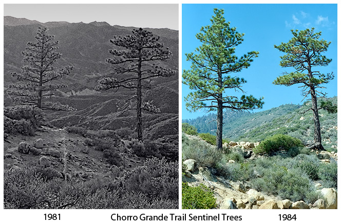 Chorro Grande Trail Sentinel Trees, 1981 and 1984