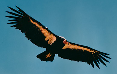 Condor AC9 (Igor), Southern Los Padres National Forest